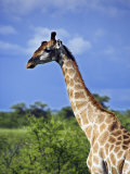 Male Giraffe in Etosha National Park, Namibia Photographic Print by Julian Love