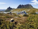 Tasmania, Peaks of Cradle Mountain and Wallaby Running Through Bush on Overland Track, Australia Fotografisk tryk af Christian Kober
