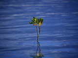 Emerging Mangrove, Seychelles Photographic Print by Mark Hannaford