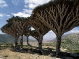Endemic Dragon's Blood Trees Grow Among Socotran Desert Roses in the Homhil Mountains Photographic Print by Nigel Pavitt