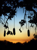 South Luangwa National Park, Sausages Hang from a Sausage Tree at Sunset, Zambia Photographic Print by John Warburton-lee