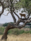 Lioness Surveys Her Surroundings from a Tree in the Tarangire National Park Photographic Print by Nigel Pavitt