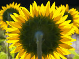 Sunflowers in the Morning Light, Provence, France Photographic Print by Nadia Isakova