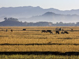 Burma, Mrauk U, Bright Yellow Fields of Rice Stubble Contrast with a Series of Misty Blue Mountain  Photographic Print by Nigel Pavitt