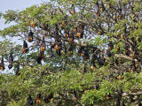 Burma, Rakhine State, Fruit Bats Spend the Day Hanging from the Branches of Large Trees, Myanmar Photographic Print by Nigel Pavitt