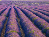 Lavender Field, Provence-Alpes-Cote D'Azur, France Photographic Print by Doug Pearson