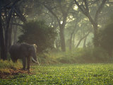 Elephant in the Early Morning Mist Feeding on Water Hyacinths, Mana Pools, Zimbabwe Fotografie-Druck von John Warburton-lee