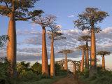 Avenue of Baobabs at Sunrise Fotografisk tryk af Nigel Pavitt