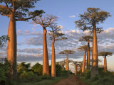 Avenue of Baobabs at Sunrise Lmina fotogrfica por Nigel Pavitt