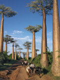 Avenue of Baobabs with Ox-Drawn Carts Fotografie-Druck von Nigel Pavitt
