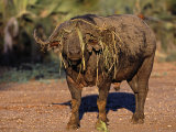 Lower Zambezi National Park, Old Buffalo Bull with a Wreath of Grass, Zambia Photographic Print by John Warburton-lee