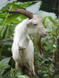 Goat in Sao Tomé and Principé, Africa's Second Smallest Country Photographic Print by Camilla Watson
