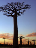 Avenue of Baobabs at Sunrise Fotografie-Druck von Nigel Pavitt
