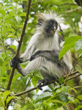 East Africa, Tanzania, Zanzibar, Red Colobus Monkey, Jozani Forest Reserve Photographic Print by Paul Harris