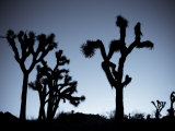 California, Joshua Tree National Park, Joshua Tree, Yucca Brevifolia, in Hidden Valley, Dawn, USA Photographic Print by Walter Bibikow