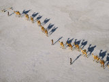 Afar Camel Caravan Crosses the Salt Flats of Lake Assal, Djibouti, as Shadows Lengthen in the Late  Photographie par Nigel Pavitt