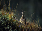 Willow Ptarmigan, Denali National Park, Alaska, USA Photographie par John Warburton-lee