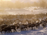 Kamchakta, Herding Reindeer across the Winter Tundra, Palana, Kamchatka, Russian Far East, Russia Photographic Print by Nick Laing