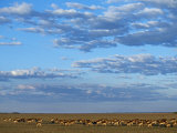 Bangweulu Swamp, Black Lechwe Herd Feeding on Grassy Plains on Fringe of Bangweulu Swamp, Zambia Photographic Print by John Warburton-lee