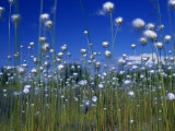 Cotton Grass, Susitna River, Alaska, USA Photographic Print by John Warburton-lee