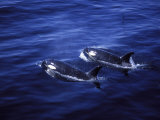 Pair of Killer Whales in the Indian Ocean Photographic Print by Mark Hannaford