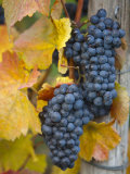 Vineyard, Bacharach, Rhine Valley, Germany Lámina fotográfica por Doug Pearson