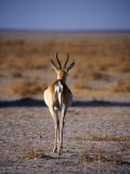 Rear View of Gazelle Walking Away Crossing Plain, Namibia Photographic Print by Mark Hannaford