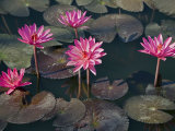 Burma, Sittwe, Beautiful Lotus Flowers Bloom in Rainwater Pond on Outskirts of Sittwe, Myanmar Photographic Print by Nigel Pavitt