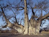 Grootboom Baobab Tree in Bushman Country Near Tsumkwe Photographie par Nigel Pavitt
