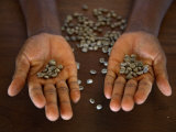 Worker from the Plantation 'Roca Nova Moka' in Sao Tomé Holds Some Coffee Beans Fotografie-Druck von Camilla Watson