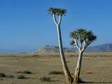 Quiver Tree and Bloodkopje Northern Section of Park Photographic Print by Mark Hannaford
