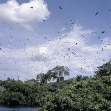 In the Late Afternoon, a Large Colony of Fruit Bats Circles Above the Victoria Nile Near Jinja Fotografisk tryk af Nigel Pavitt