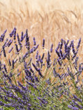 Lavender and Wheat, Provence, France Reproduction photographique par Nadia Isakova