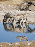 Blackbacked Jackal, Okaukuejo Waterhole, Etosha National Park, Namibia, Africa Photographic Print by Ann & Steve Toon