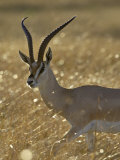 Grant's Gazelle, Masai Mara National Reserve, Kenya, East Africa, Africa Photographic Print by James Hager