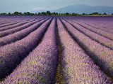 Lavender Field, Plateau De Valensole, Provence, France, Europe Photographie par Guy Edwardes