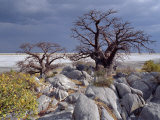 Gnarled Baobab Tree Grows Among Rocks at Kubu Island on Edge of Sowa Pan, Makgadikgadi, Kalahari Fotografisk tryk af Nigel Pavitt