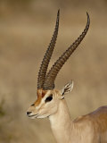 Male Grant's Gazelle, Samburu National Reserve, Kenya, East Africa, Africa Photographic Print by James Hager