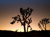 California, Joshua Tree National Park, Joshua Trees, USA Fotografie-Druck von Michele Falzone
