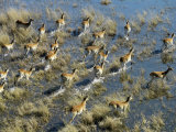 Red Lechwe Cross a Flood Plain in the Okavango Delta Photographic Print by Nigel Pavitt