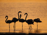 Greater Flamingoes, at Dusk, Walvis Bay Lagoon, Namibia, Africa Photographic Print by Ann & Steve Toon