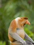 Alpha Male Proboscis Monkey in Territorial Stance, Sabah, Borneo Photographic Print by Mark Hannaford