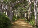 Peter Adams - Avenue of Trees, West Cape Howe Np, Albany, Western Australia Fotografická reprodukce