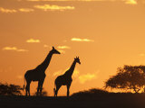 Giraffes, Silhouetted at Sunset, Etosha National Park, Namibia, Africa Photographic Print by Ann & Steve Toon