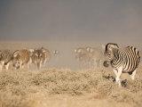 Burchell's Zebra, Etosha National Park, Namibia, Africa Photographic Print by Ann & Steve Toon