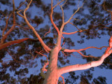 Mature Lemon Scented Gum Trees Perth, Western Australia, Australia Photographic Print by Peter Adams