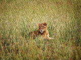 Young Lion in Murchison National Park, Uganda, East Africa, Africa Photographic Print by Andrew Mcconnell