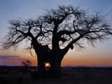 Sunrise Through Hole Made in Baobab Tree by an Elephant in Ruaha National Park of Southern Tanzania Photographic Print by Nigel Pavitt