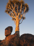 Quiver Tree, Quiver Tree Forest, Keetmanshoop, Namibia, Africa Photographic Print by Ann & Steve Toon