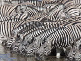 Burchell&#39;s Zebra, at Waterhole, Etosha National Park, Namibia, Africa Photographic Print by Ann &amp; Steve Toon